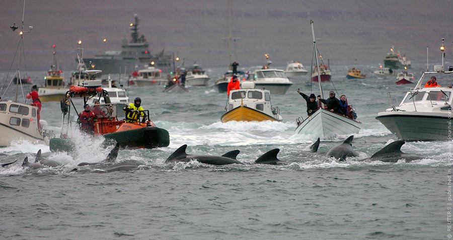 Inhabitants of Faroe Islands catch to slaughter pilot whales (Globicephala melaena) during the traditional 'Grindadrap' (whale hunting in Faroese) near the capital Torshavn, November 22, 2011. Residents of the Faroe Islands, an autonomous province of Denmark, slaughter and eat pilot whales every year. The Faroese are descendents of Vikings, and pilot whales have been a central part of their diet for more than 1,000 years. They crowd the animals into a bay and kill them. 'Grindadrap' whaling is not done for commercial purposes, the meat can not be sold and is divided evenly between members of the local community. REUTERS/Andrija Ilic (FAROE ISLANDS - Tags: ANIMALS SOCIETY ENVIRONMENT)