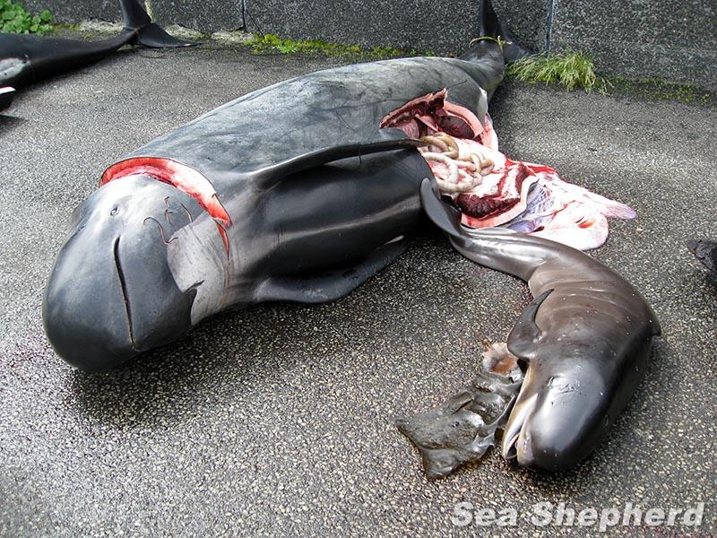 "Aftermath of a Grind Pilot Whale Hunt in the Faroe Islands - Klaksvik ""best of Image"""