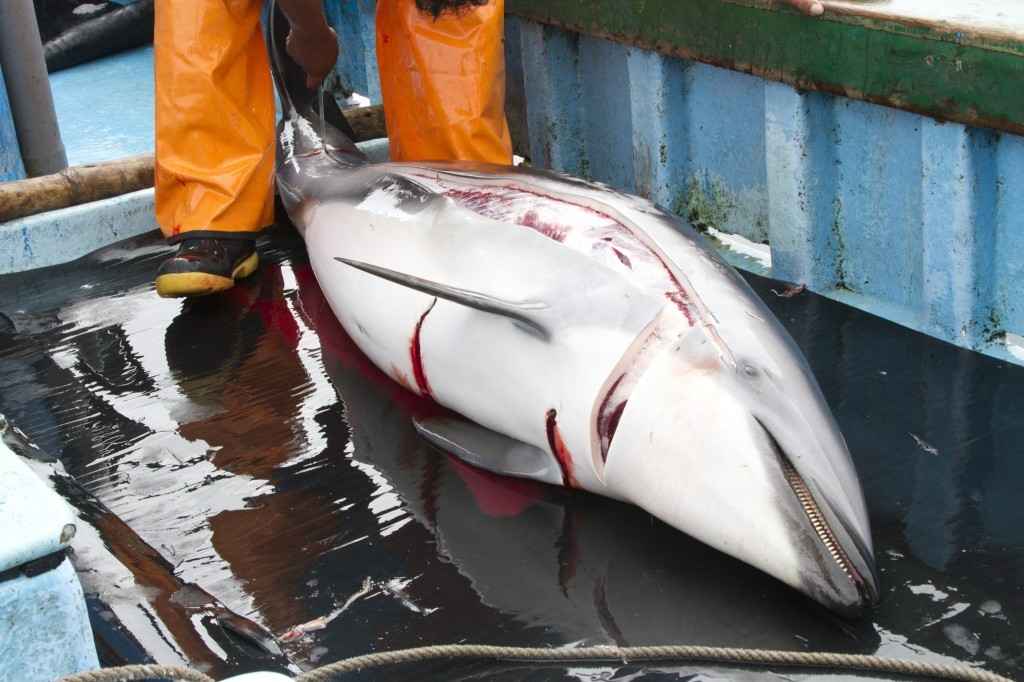 Dead-Dusky-dolphin-03-1024x682