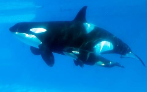 image.adapt.480.low.whales_blackfish_seaworld_0815